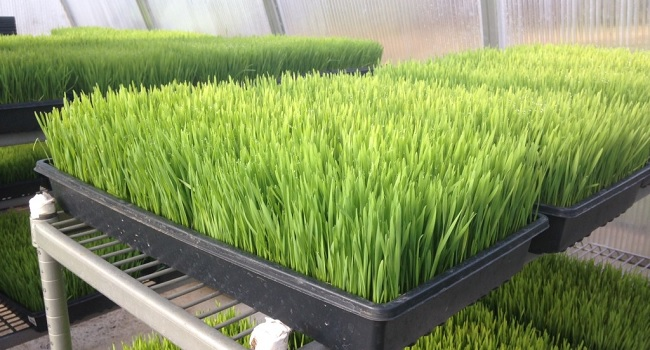 Wheatgrass for Juicing