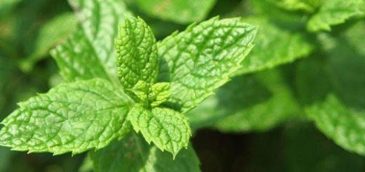 mint herbal benefits